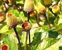 hoa cut ao chua dau nhut rang